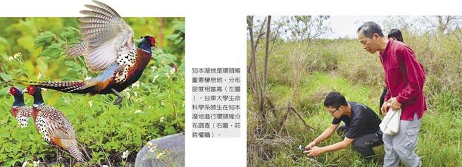 知本溼地是環頸雉重要棲息地,分布密度相當高(左)。台東大學生命科學系師生在知本溼地進行環頸雉分布調查(右,莊哲權攝)。