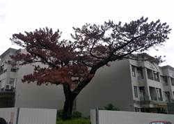爬樹修剪樹木爬上床 搶救百年老松暖男遭訴
