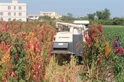 「穀物紅寶石」紅藜採收 節省人工出動多功能採收機