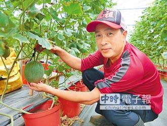 穿皮鞋也能務農 8吋盆種出洋香瓜
