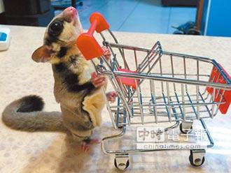 小寵物蜜袋鼯、刺蝟惹人憐