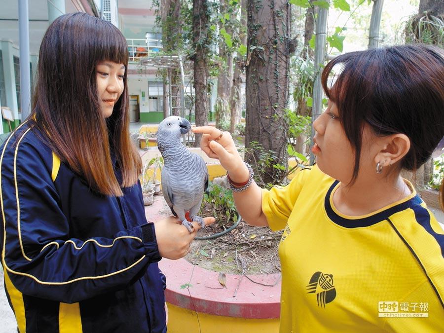 台南市六信高中校鳥非洲灰鸚鵡小小乖與學生們互動良好。(洪榮志攝)