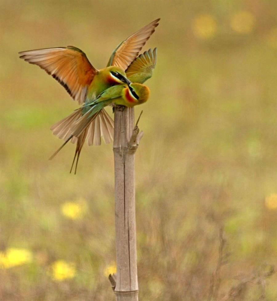 來自東南亞的栗喉蜂虎在金門展開牠們求偶和養育下一代的新生活。(李金生攝)