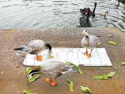 南寧守護斑頭雁 繁殖季全程直播