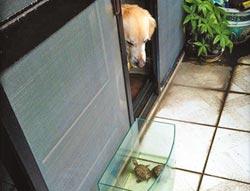 烏龜頻偷跑 黃金獵犬shero監督