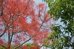 日月潭金龍山頂火紅怪樹 遊客頻頻問