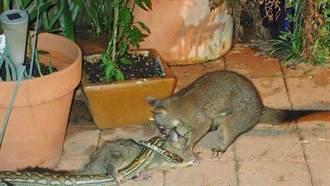 母愛強大!為拯救幼鼠 負鼠媽媽狠咬擊敗蟒蛇
