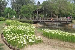 鐵炮百合搭配金門地景  植物園8萬朵陸續綻放