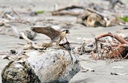 遊隼獵鴿 鳥友拍到大呼幸運