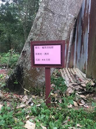 遊客頻問金龍山火紅怪樹 樹名已確認並豎標示牌
