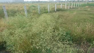 銀膠菊誤觸會過敏 農業局籲注意