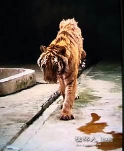 飼養員慘遭老虎咬死 網友竟力挺:能給牠吃飽嗎?