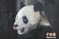 川震餘生後的貓熊