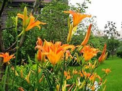 不是康乃馨  中國人的母親花是金針花