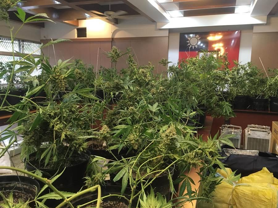 檢調警查獲蔡姓男子在彰化縣透天厝內種植3百多株大麻。(陳淑芬翻攝)