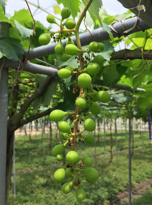 ▲農改場建議農民,葡萄在開花後30天內,葡萄尺寸約花生粒大小時就要套袋,且越早套袋越好。(農改場提供)