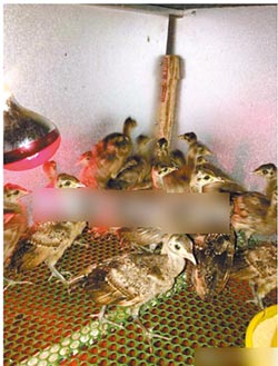 私販綠孔雀幼鳥 陸官方展開調查
