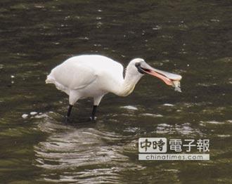 香山溼地好生態 黑面琵鷺來作客