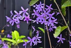 大安水蓑衣再現 花博展現台灣原生植物之美