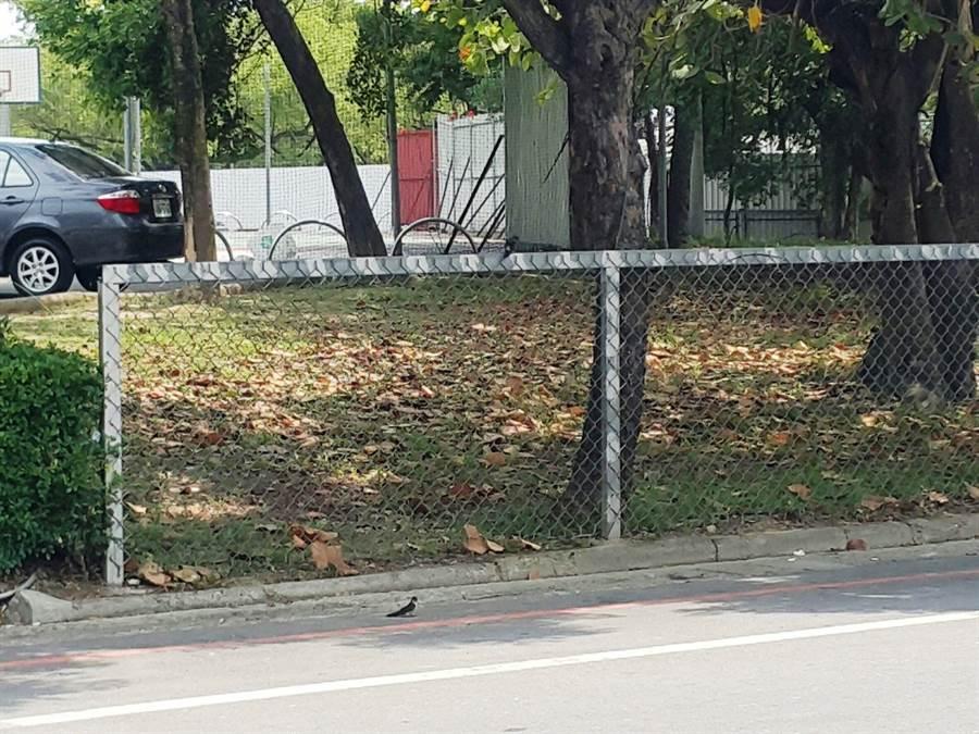最近台灣欒樹下常有燕子守候,牠們的目標是紅姬緣椿象。(周麗蘭攝)