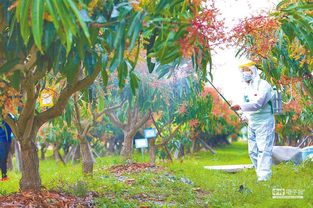 農委會人員對芒果樹施藥測試。(本報資料照片)