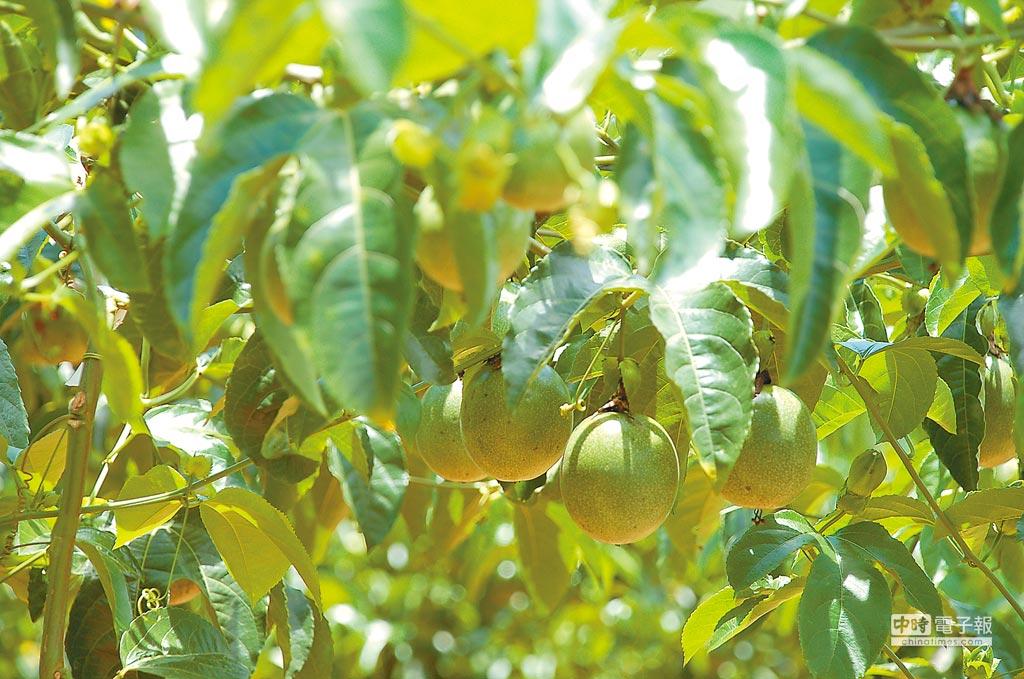 食藥署將放寬百香果等29種作物9種農藥的殘留標準,主婦聯盟憂心將引發人體對農藥的「雞尾酒效應」。(本報資料照片)