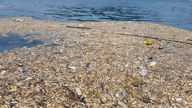 基隆市碧砂漁港近日出現大量的布袋蓮,且還夾雜著許多垃圾,影響航道。(翻攝自王銘祥臉書)