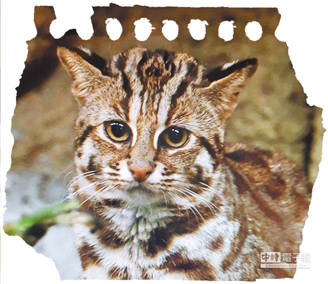 石虎目前是台灣生態環境一大重要指標。(陳幸蕙翻攝)