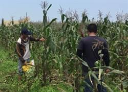 首次收成黑寶玉米 青農無私全數捐公益