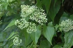 「綠癌殺手」小花蔓澤蘭 竟有防小黑蚊功效