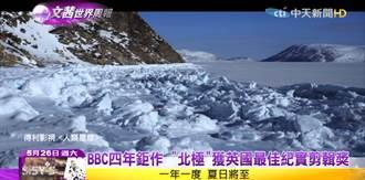夏日將至北極馴鹿大遷徙 暖化悲歌北極熊南下覓食
