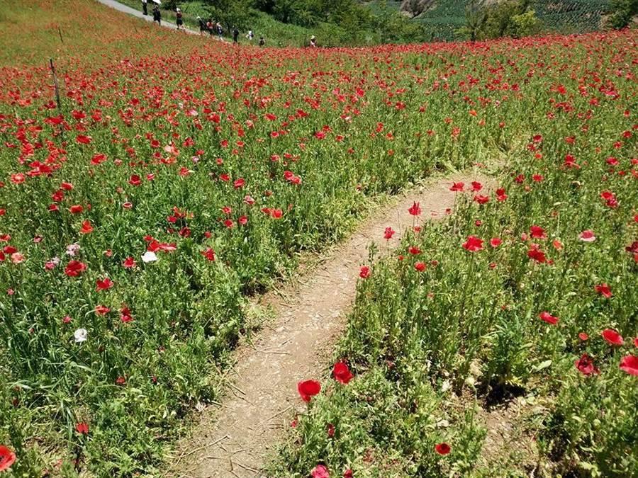 福壽山農場的虞美人也遭遇不測,花田被遊客踩出一條路。(王文吉翻攝)