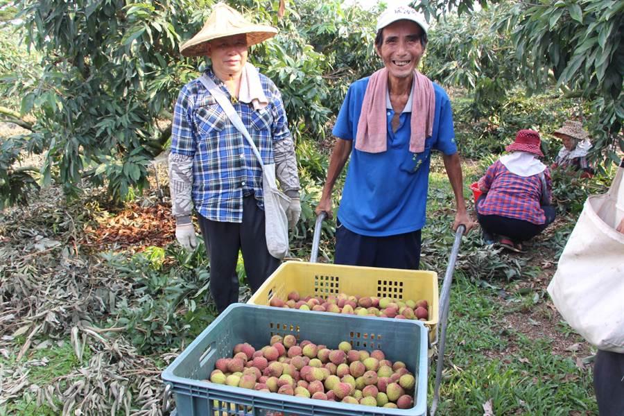果農直接採果粒,減少人力耗損,縮短供銷流程。(郭韋綺攝)