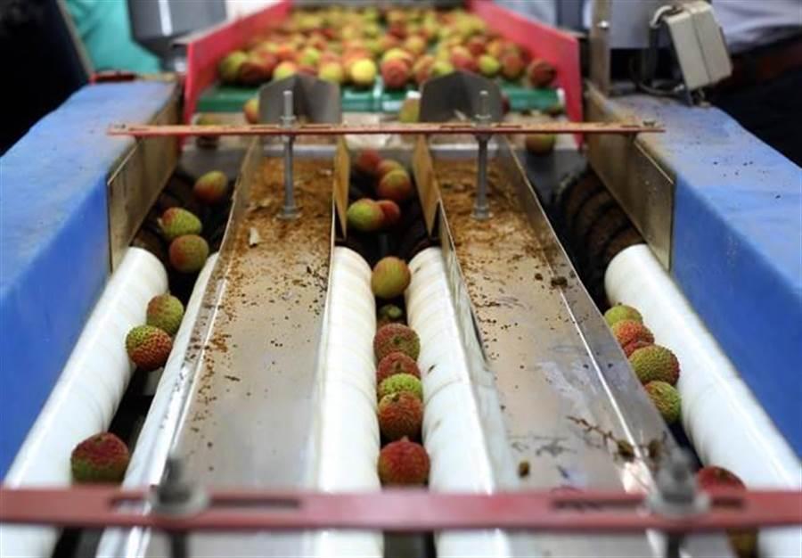 5月底正值玉荷包荔枝產季,高雄大樹區玉荷包分級包裝廠內的選果機可按荔枝大小自動分級。(王錦河攝)
