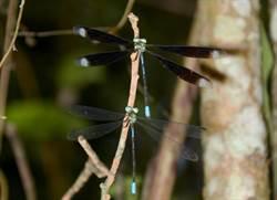 澀水「侏儸紀」生態豐富 蜻蛉頻現蹤