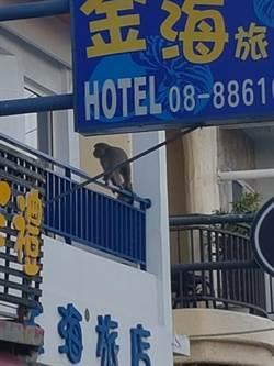獼猴真的在逛墾丁大街 目擊者:傷到人怎麼辦?