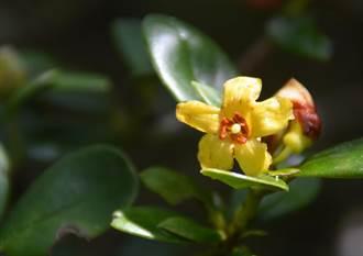 台灣原生種黃色杜鵑花 實生苗復育成功