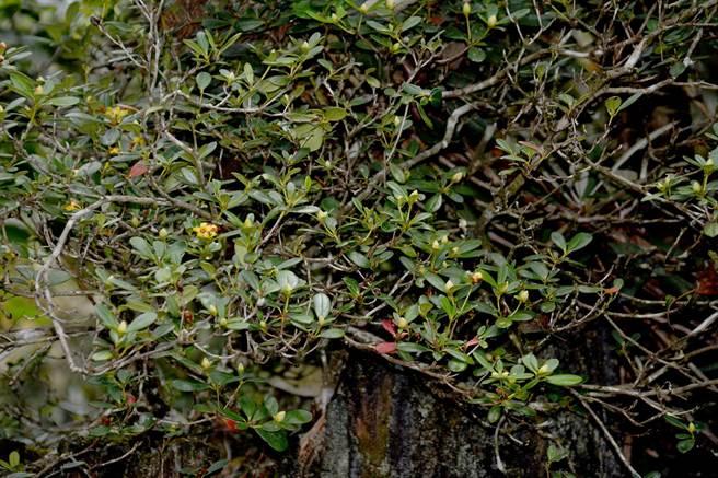 6月起,著生杜鵑漸入花期,杉林溪所見植株,此刻花苞不少。(沈揮勝攝)