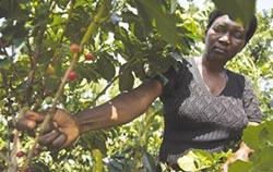 烏干達區塊鏈咖啡
