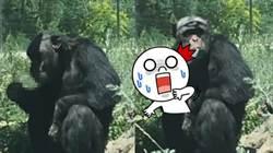 遊客無視警告亂丟菸 害猩猩「上癮哈草」竟拍手叫好!