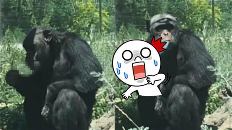 遊客無視警告亂丟菸 害猩猩「上癮哈草」竟拍手叫好!(圖/ 翻攝自《梨視頻》影片)