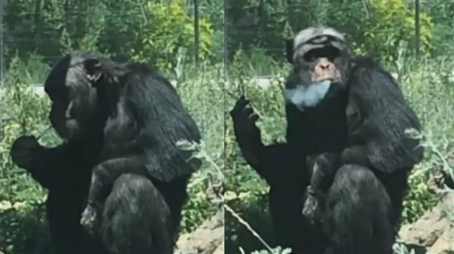 不過,園內的黑猩猩因為先前就有遊客丟香菸和打火機,和牠染上菸癮。(圖/ 翻攝自《梨視頻》影片)