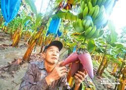 一元香蕉餵豬的?65歲蕉農:徐國勇應該要下台