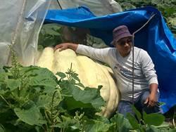 1顆重量1000多斤 全蔣清種出超級大南瓜