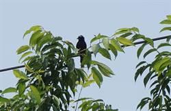 暖爸收養大卷尾幼鳥 馴服「憤怒鳥」當顧家警衛