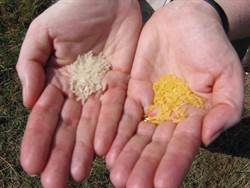 基改黃金米終於被美國食藥局批准