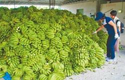 去化香蕉堆成山 農民心淌血