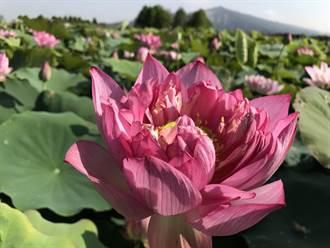 牡丹蓮「低姿態」 中社花市讓遊客更好拍