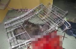 山豬被摔死還是自摔死?獸醫學院解剖釐清死因