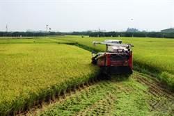 氣象預報失準引發稻農搶割 未收割的農民仍姑且信之